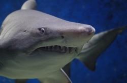 Köpekbalığı Saldırısı