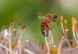 Arılar Da Kafein Sever