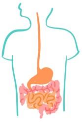 Sağlıklı Sindirim Sistemi